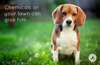 beagle on grass turf eco organic healthy lawn options
