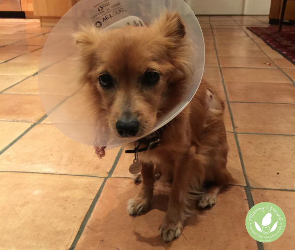 Red dog wearing cone on tile floor